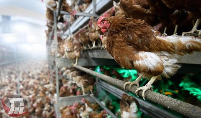 قرنطینه شدن کانون آنفلوانزای فوق حاد پرندگان در خرمآباد