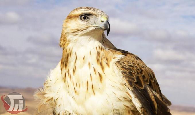 تحویل بهله عقاب مصدوم به مرکز قرنطینه حیاتوحش خرمآباد