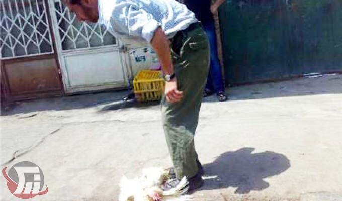 افزایش سگهای ولگرد در لرستان با کشتار مرغ زنده در معابر