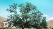 ثبت ملی درخت گردوی «گل زرد»