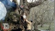 به آتش کشیدن درخت گردوی ۷۰۰ساله در «سلسله»