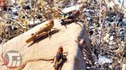 احتمال هجوم ملخ صحرایی به مزارع لرستان