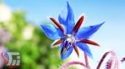 برداشت ۱۰ تن گیاه دارویی «علف گاوزبان» در پلدختر