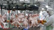 تولید 15 درصد گوشت مرغ لرستان در کوهدشت